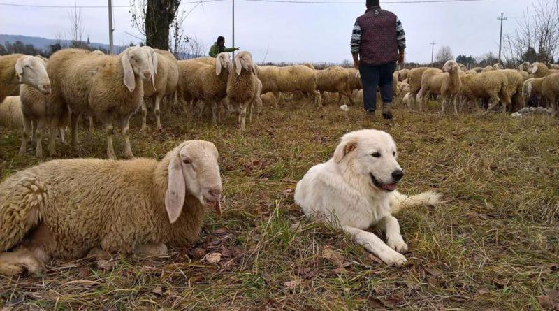 pastore gregge il corriere della provincia