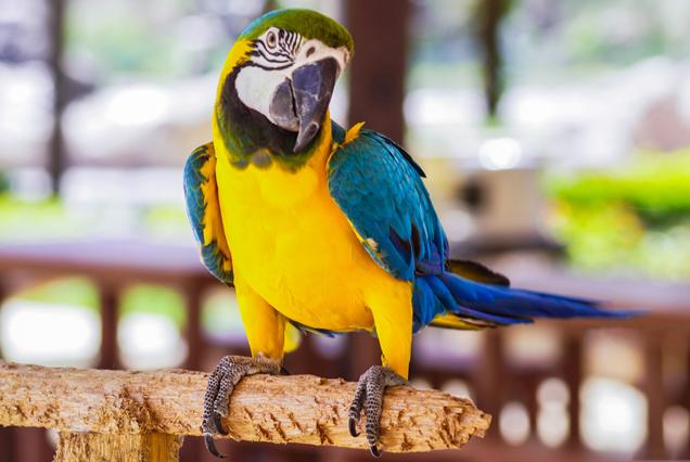 pappagallo razza ara araruna il corriere della provincia