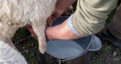 latte ovino il corriere della provincia