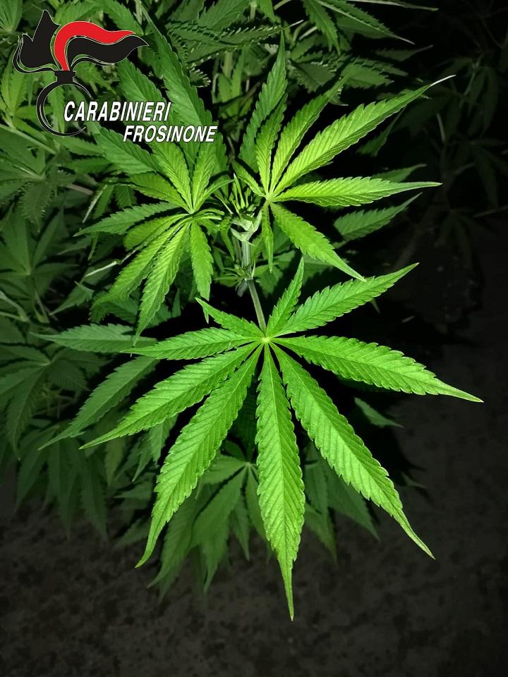 marijuana il corriere della provincia