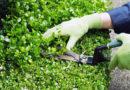 Veroli, da oggi attivo il servizio raccolta potature