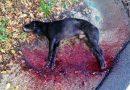 Ceccano – 'I miei cani avvelenati e presi a fucilate': foto e racconto del proprietario